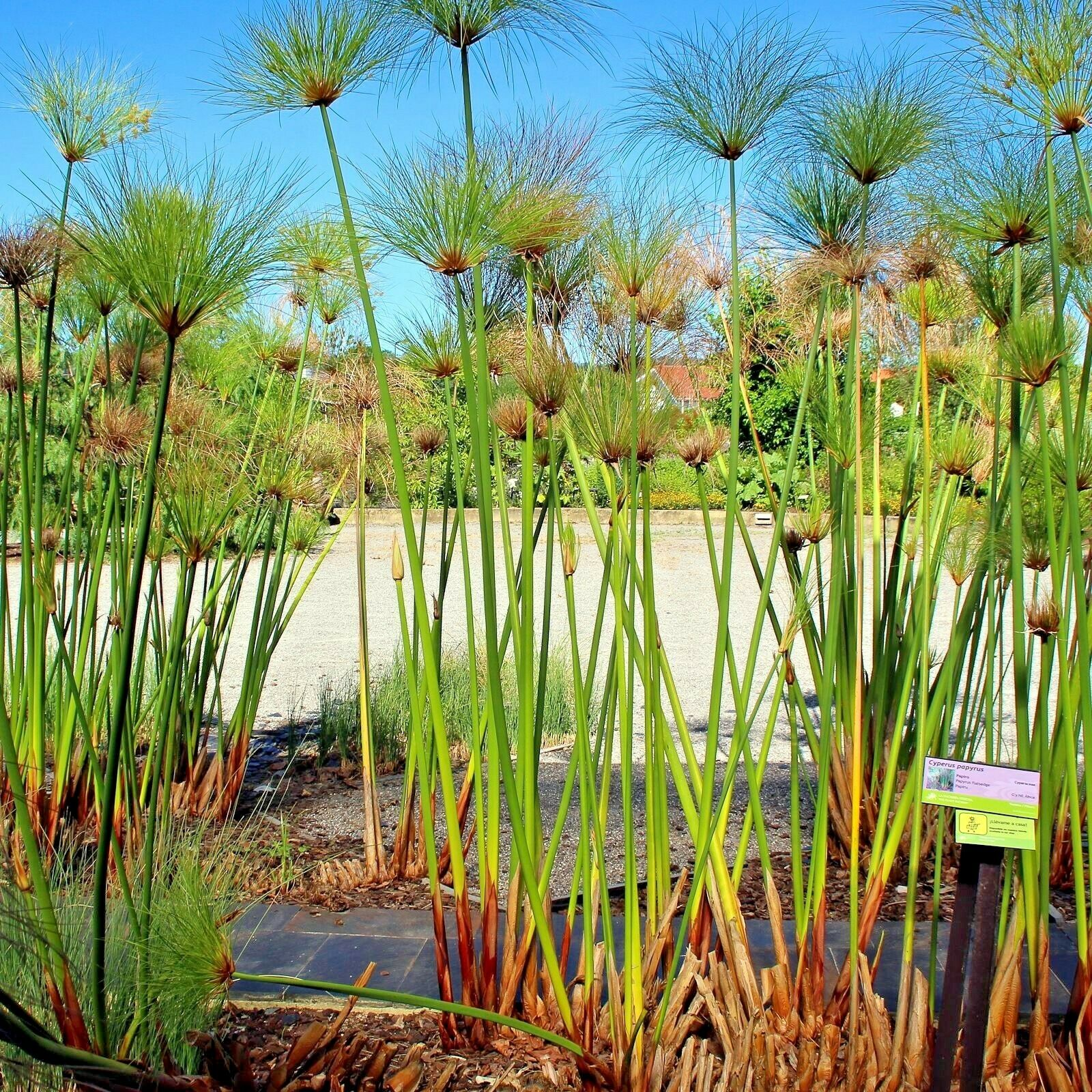 Папирус картинки растение
