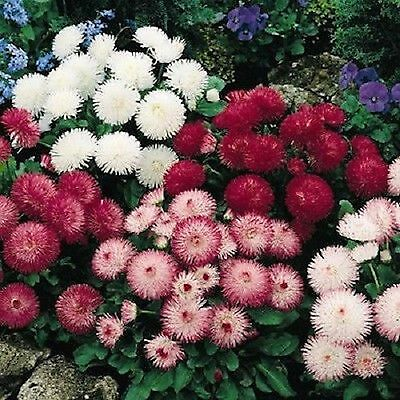ENGLISH DAISY FLOWER SEEDS - BULK ***** (Bulk Daisy Seeds)