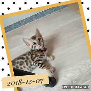 PUREBRED PEDIGREE BENGAL KITTEN FOR SALE! REGISTERED BREEDER