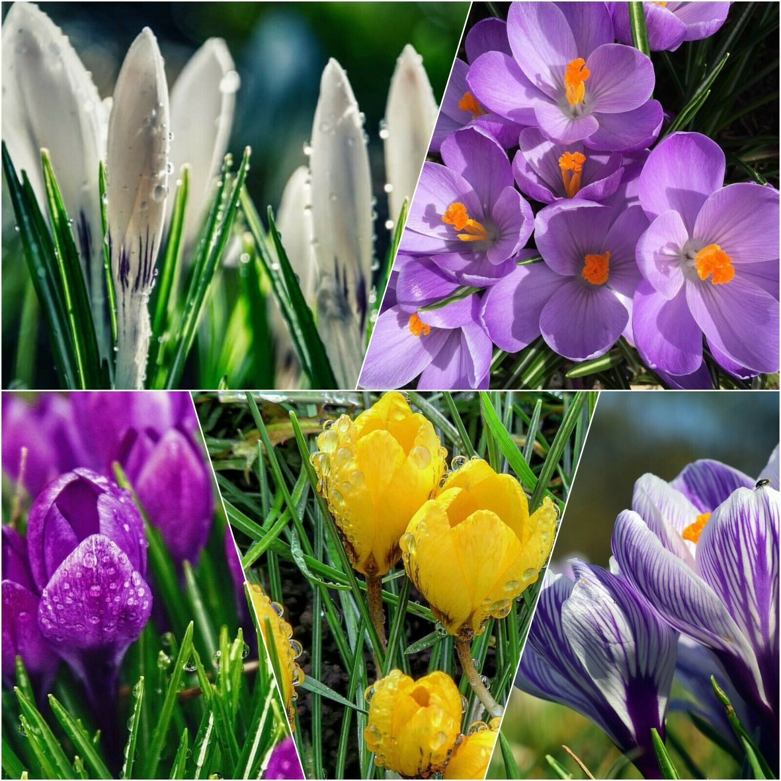 Crocus Bulbs 100 Mixed Large Early Spring Flowering Plants In