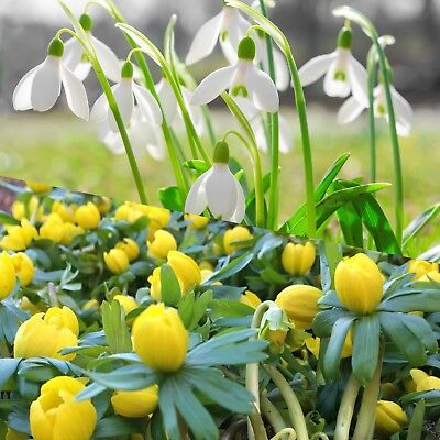 25 Single Snowdrops & 25 Winter Aconites Top Quality Spring Flowering Size Bulbs