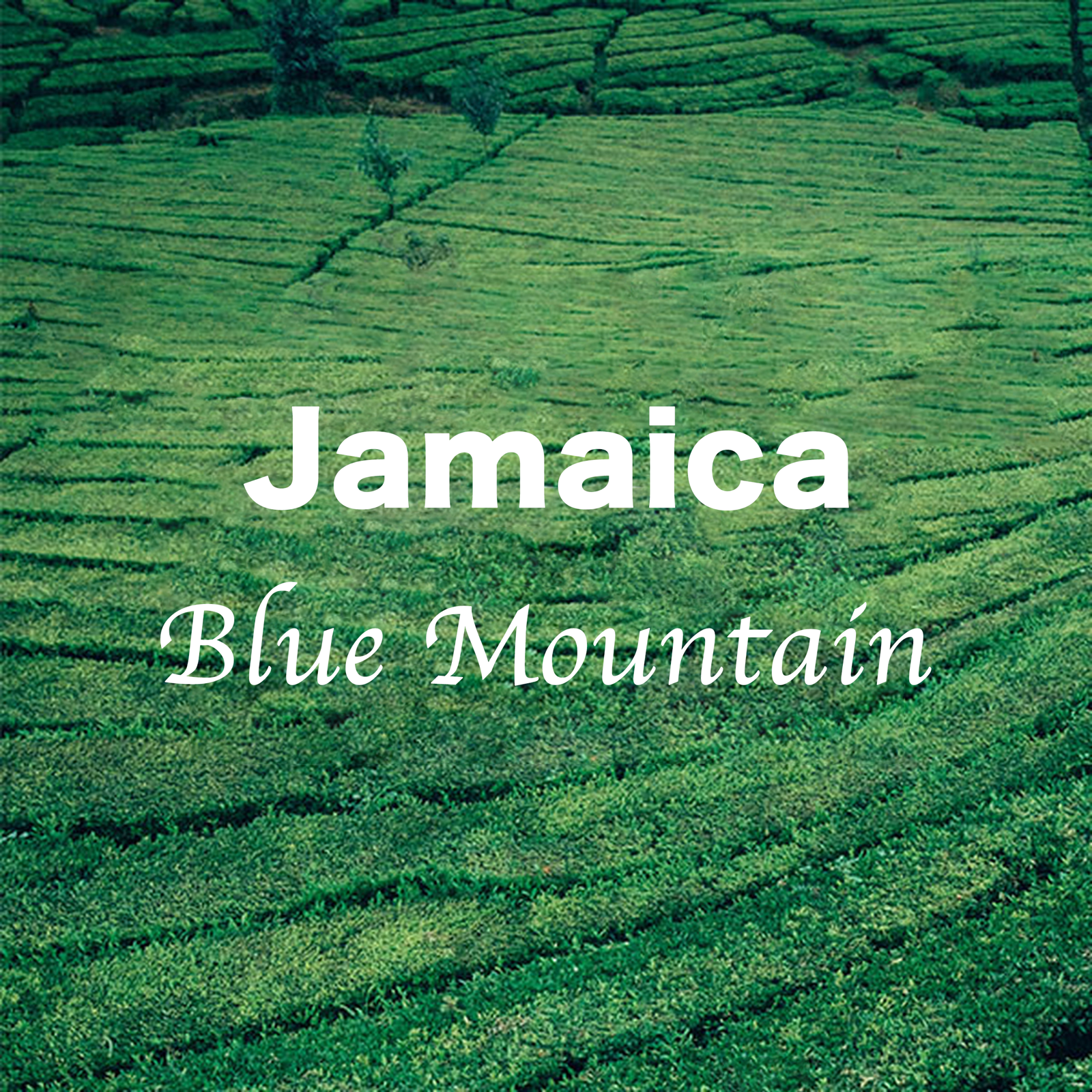 100 % Jamaican Blue Mountain Fresh Medium Roasted Whole Coff