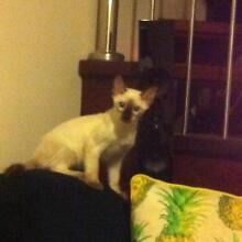 Purebred seal point Siamese kitten Upper Coomera Gold Coast North Preview