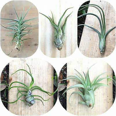 Big Pack  5 Large Size Tillandsia Air Plants   Assorted  Pack  Collection