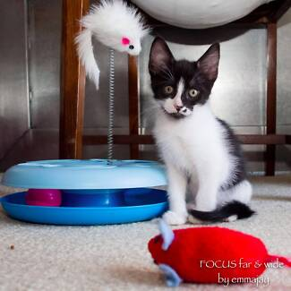 Ivy rescue KITTEN to adopt VET WORK INCLUDED