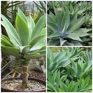 10-semillas-de-agave-attenuata-suculentas-plantas-suculentas-seed ...