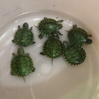 Baby Red Ear Turtle