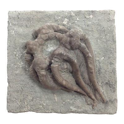 Extinct Crinoid Agaricorinites Americanus Fossil Mississippian Tesoros Naturales