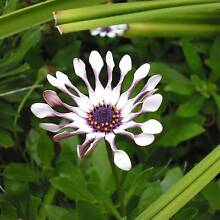 African Daisy and Geranium established Plants, Sunday 1 May. Ringwood Maroondah Area Preview
