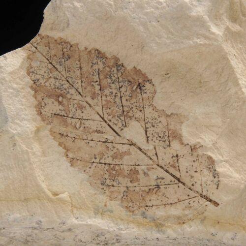 LEAF FOSSIL - Miocene - Erdobenye - HUNGARY 1C431