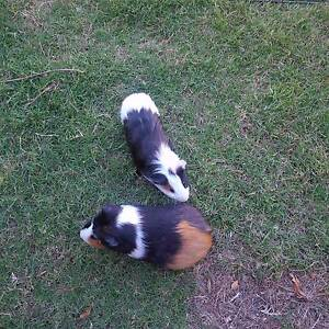 guinea pigs Highton Geelong City Preview
