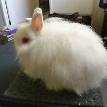 Purebred Jersey Woolly baby bunnies rabbits Magill Campbelltown Area Preview