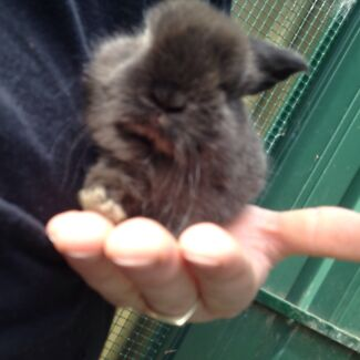 Baby dwarf lop eared rabbits Adelaide CBD Adelaide City Preview