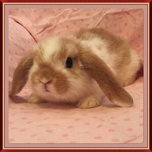 Orange Butterfly Pure Bred Mini Lop Rabbit Joondalup Joondalup Area Preview