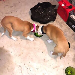 2 American bulldog puppies Coombabah Gold Coast North Preview