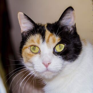 Rescue cat-Hunter Valley Cat Haven