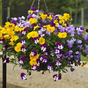 40 Trailing Winter Flowering Pansy Freefall Mixed   Bedding  Plug Plants