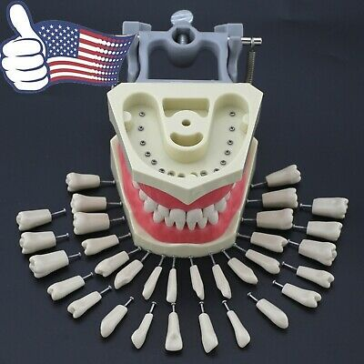 Us Columbia Compatible Dental Typodont Model 32pcs Removable Teeth Soft Gingiva