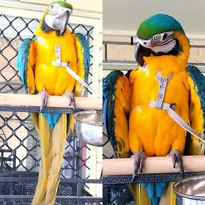 Handraised Blue and Gold Macaws