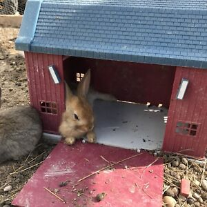 Adult and baby bunnies for sale