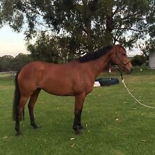 TB mare in foal to SH stallion Metung East Gippsland Preview