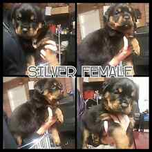 ONE FEMALE Purebred German Rottweiler Pups Berwick Casey Area Preview
