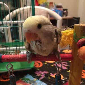 Hand Fed Pied Lovebird Baby