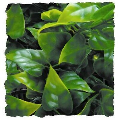 Mexican Bush - Zoo Med Natural Bush Plant Mexican Phyllo  (Free Shipping)