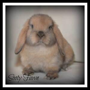 Pure Bred Mini Lop Rabbit Banksia Grove Wanneroo Area Preview