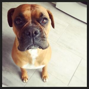 Purebred Boxer Puppies - Expressions Of Interest