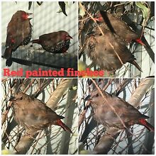 RED PAINTED FINCHES Carine Stirling Area Preview