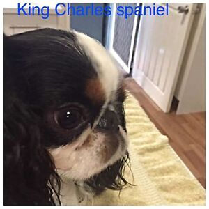 King Charles spaniel x cavalier King Charles Coomera Gold Coast North Preview