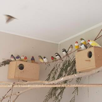 Various Finches For Sale Including Gouldian Mutations