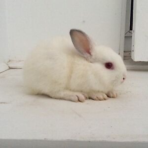 Dwarf rabbits Noble Park Greater Dandenong Preview