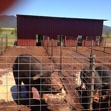BERKSHIRE PIG FOR SALE - WORKING BOAR Atherton Tablelands Preview