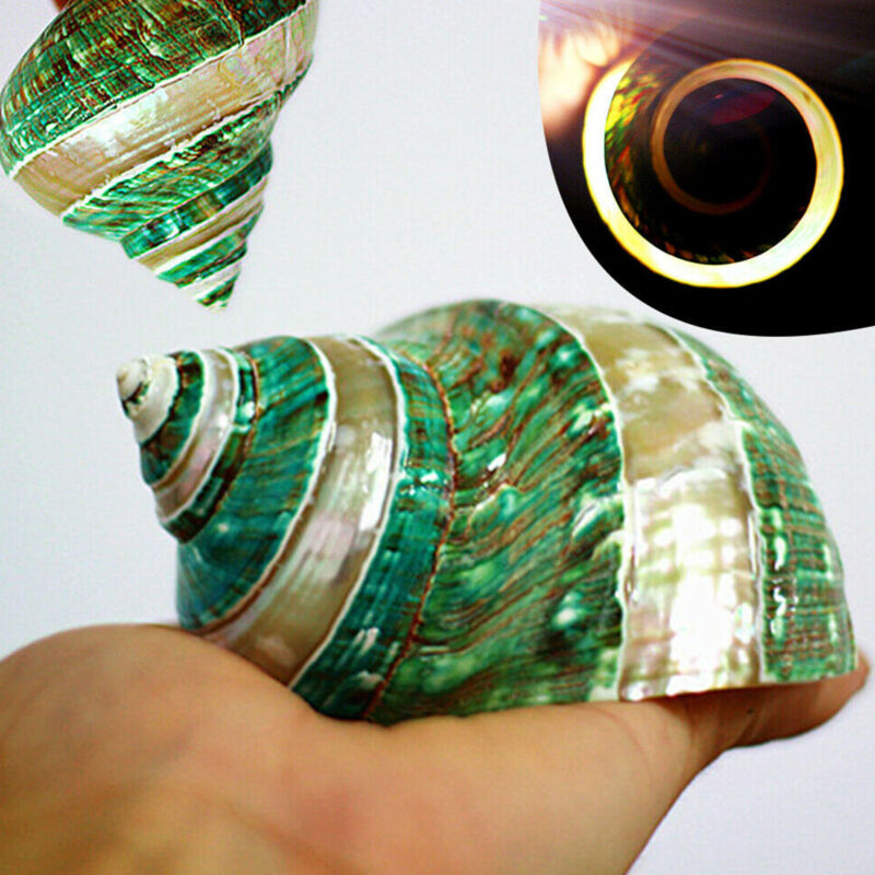 Natural Green Turban Shell Conch Coral Sea Snail Home Fish Tank Ornament Gift US