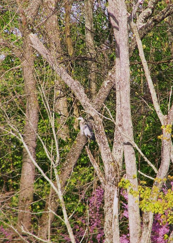 Blue Heron Bird Lake Art Photography Digital Picture Spring Woods Scenery