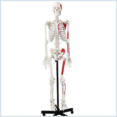 Anatomical Human Skeleton Model Muscular Painted Numbered 170cm Wnerves