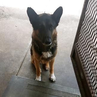 German shepherd - Dog free to a good home