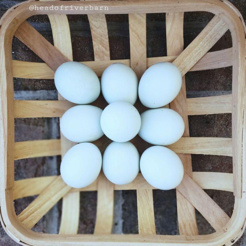 Cream/Opal Legbar Hatching Eggs