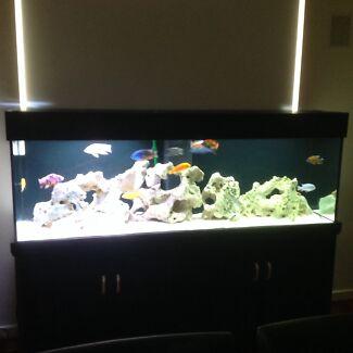 African male cichlids aquarium Glenunga Burnside Area Preview