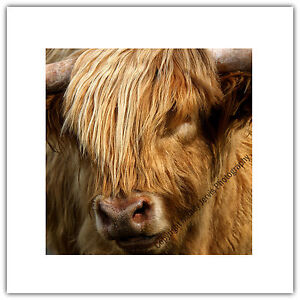 Greetings Card Birthday / Notelet - Highland Cow Hairy Shaggy Farm Animal Nature