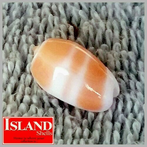 GEM! Oliva carneola #1 15.5mm GORGEOUS BEAUTY from the Marshall Islands