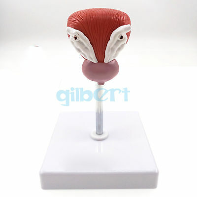 Anatomical Human Urinary Bladder Prostate Model Medical Urology Anatomy