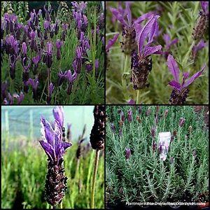 8 Lavender Avonview Tuf Herb Garden Plants Hedge Border Rockery Cottage Flowers