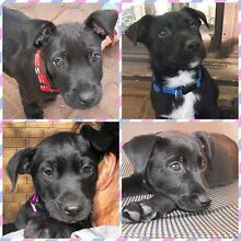 Puppies. Lab X kelpie Port Noarlunga Morphett Vale Area Preview