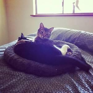 Two Desexed, Microchipped, Vaccinated Cats. Launceston Launceston Area Preview