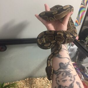 4YEAR OLD BALL PYTHON