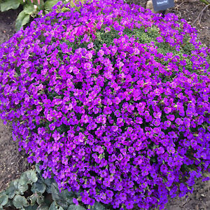 Ground cover plants ebay for Purple flower ground cover perennial
