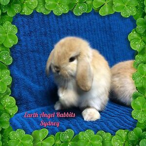 ★★ Orange Sooty Fawn Mini Lop Baby Rabbits For Sale ★★ Chatswood Willoughby Area Preview